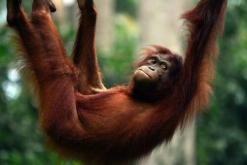 Orangután: características, comportamiento y hábitat