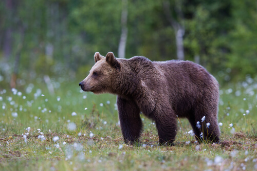 Oso pardo: características, comportamiento y hábitat