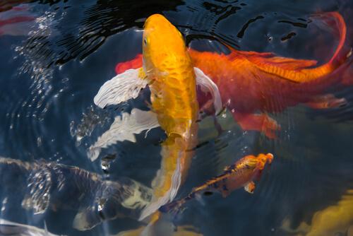 Peces de agua fría: carpa koi