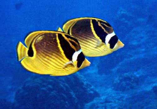 Peces mariposa nadando