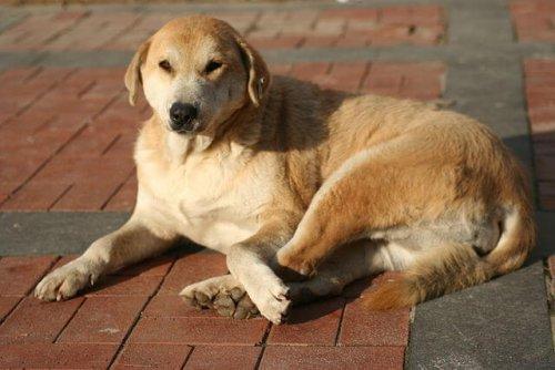 Perro kangal turco tumbado
