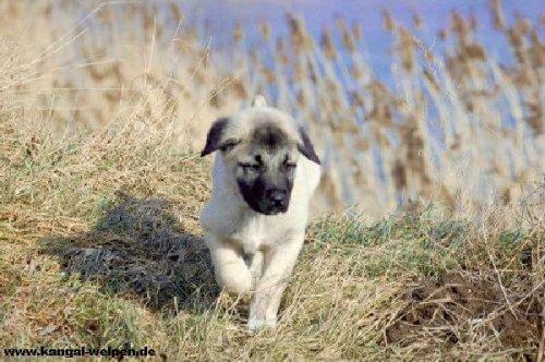 Cachorro de perro kangal turco
