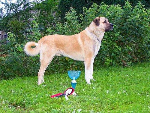 Perro Kangal Turco