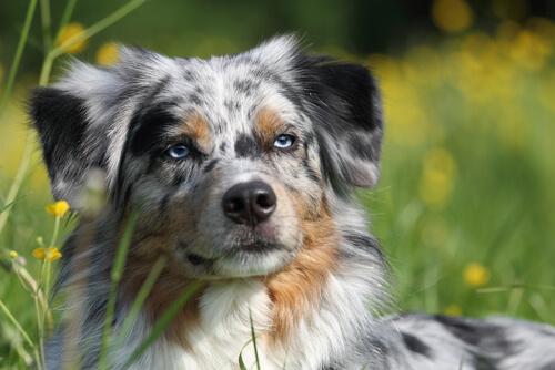 Cara de un perro pastor ovejero australiano