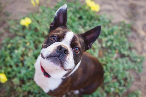 Perros compatibles con el Labrador