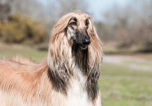 Perros del grupo 10: clasificación de razas según la FCI