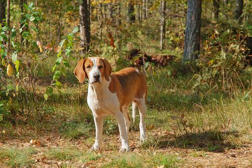 Perros del grupo 6: clasificación de razas según la FCI
