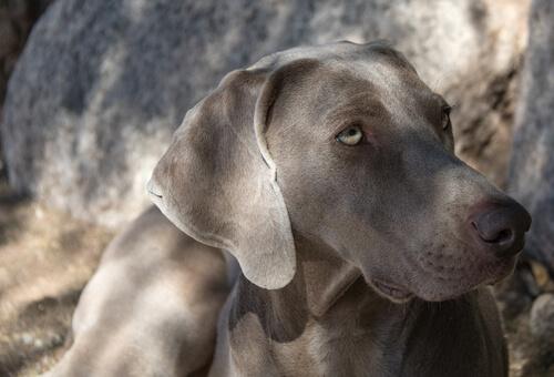 Perros del grupo 7: clasificación de razas según la FCI