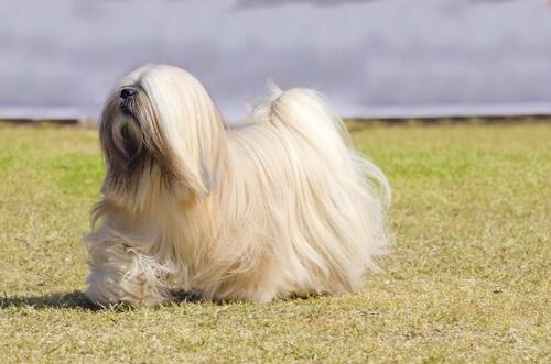 Perros del grupo 9: clasificación de razas según la FCI