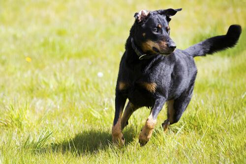 Perros independientes: consejos para su adiestramiento