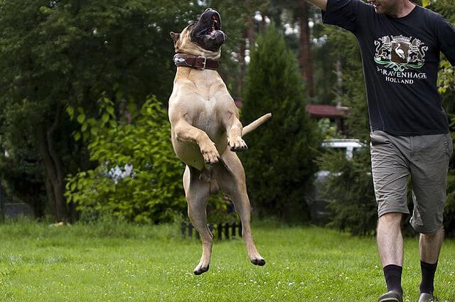 Presa canario, un perro peculiar