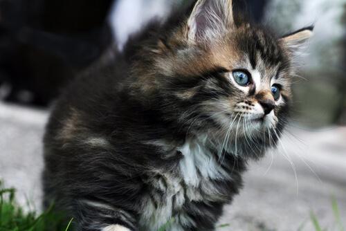 Las razas de gatos más caras