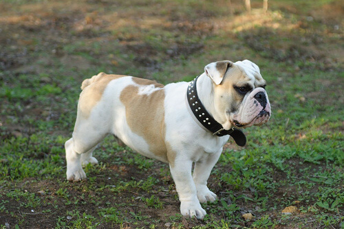 Bulldog ingles en el jardin