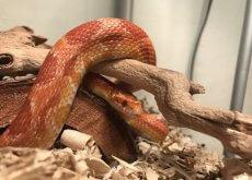 Serpiente como mascota en una rama