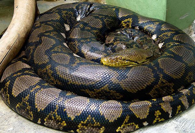 Serpiente piton reticulada