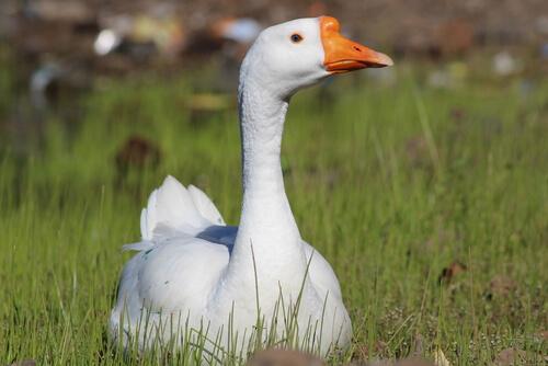Un pato en casa, ¿qué cuidados necesita?
