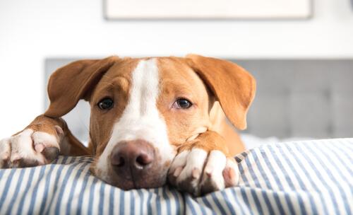 Tenias: gusanos planos que se alojan en el intestino del perro