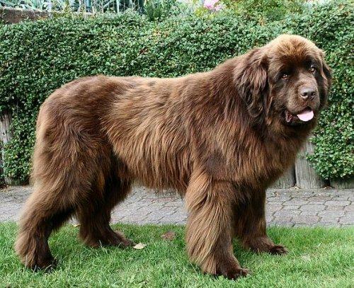 Perro terranova color marron