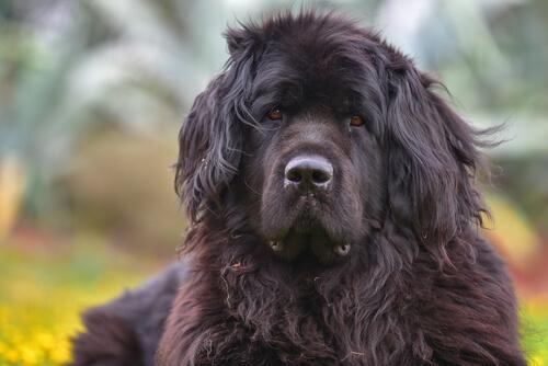 Cara de un perro terranova