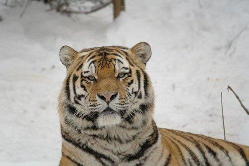 El tigre siberiano, veloz cazador en peligro de extinción
