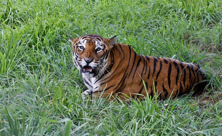 El Tigre de Bengala: características, comportamiento y hábitat