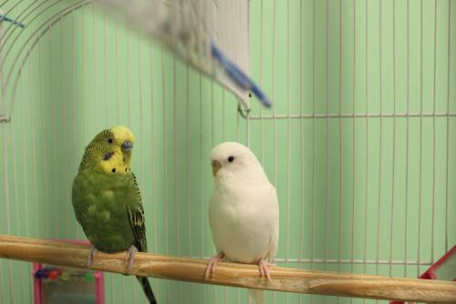 Elegir un ave como mascota: consideraciones