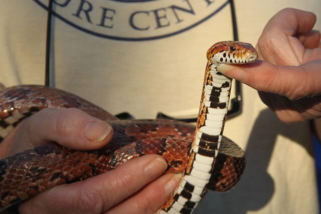 Las serpientes más venesosas de LATAM