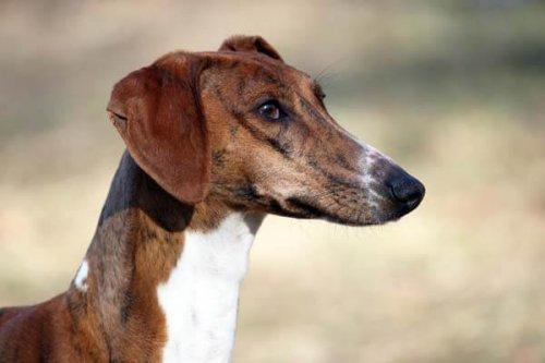 Cabeza de un perro azawakh