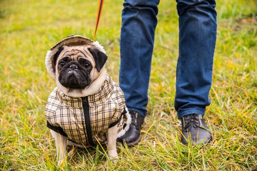 La agresión por sobreprotección en perros