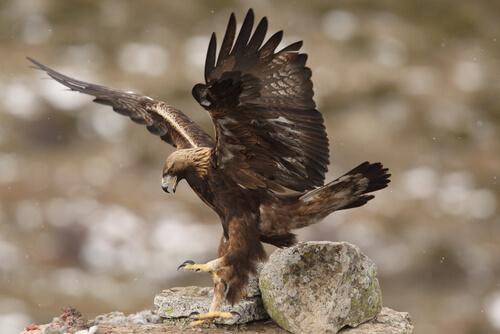 Águila imperial: depredador