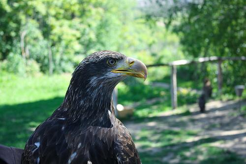 Águila imperial: características y comportamiento