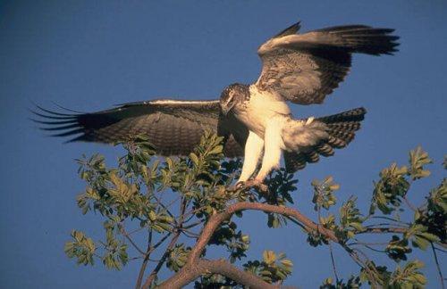 Aguila marcial