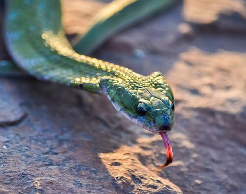 Alimentación de la serpiente doméstica