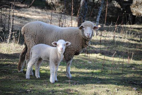 Alimentación para ovejas