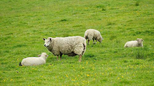 Alimentación para ovejas: todos los consejos