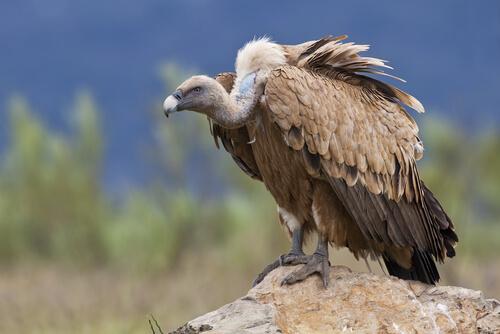 Animales de alta montaña: buitre
