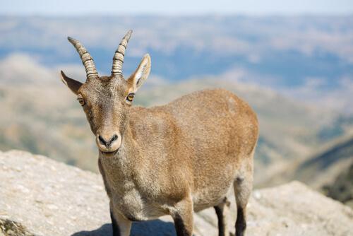 Animales de alta montaña: cabra
