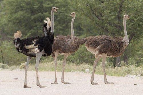 Avestruces