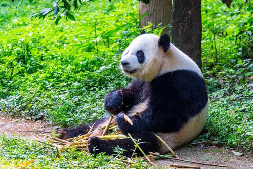 Animales solitarios: oso panda