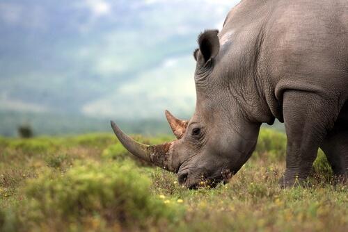 Animales solitarios: rinocerontes