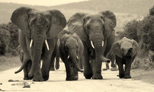 Animales que viven en grupos elefantes