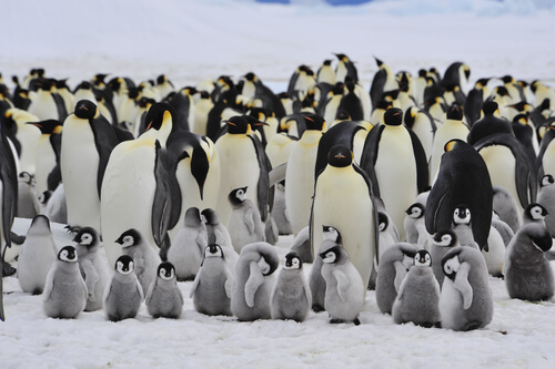 Animales que viven en grupos: pingüinos