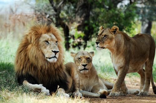Animales que viven en grupos: león