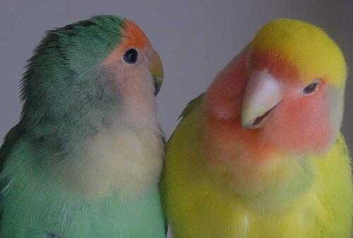 Aves como mascotas: mejor por parejas