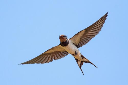 Golondrina volando
