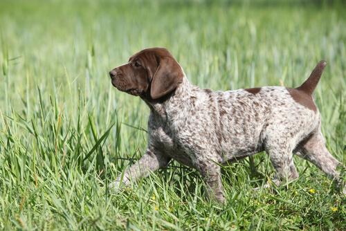Cachorro braco aleman