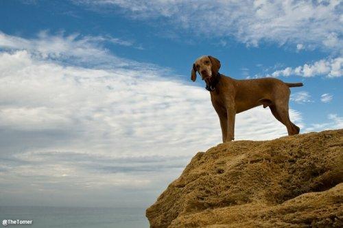 Perro braco hungaro en un acantilado