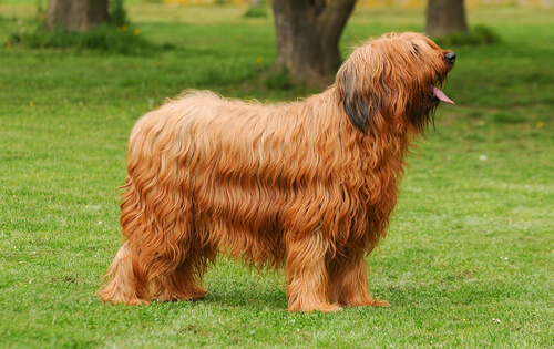 Briard o pastor de Brie, un perro inteligente y lleno de vida