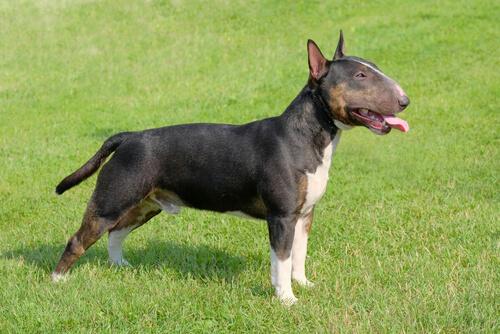 Perro bull terrier en el cesped