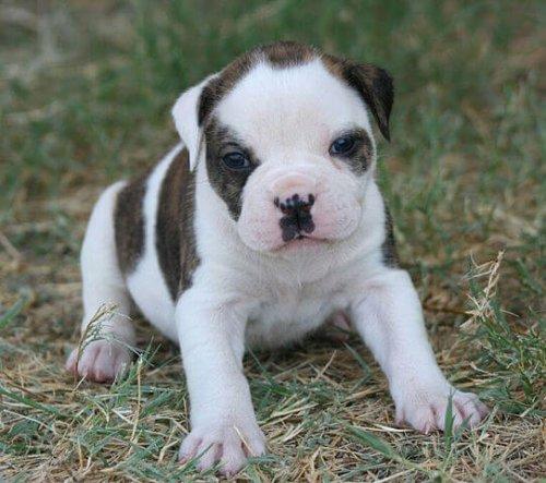 Cachorro de perro bulldog americano